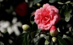 Middlemist Camellia - rarest flowering plant in the world. Only 2 known examples (New Zealand & Britain)