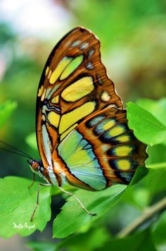 Exotic butterfly - No info.