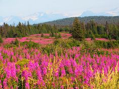 Wish I could have fireweed at our wedding, grew up with this beautiful stuff!