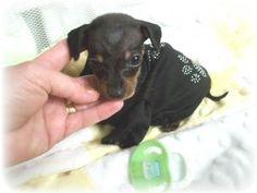 Tiniest Teacup Dachshund | Dachshund Puppies For Sale: ~~XXX Tiny Teacup Mini Dachshunds ~~~