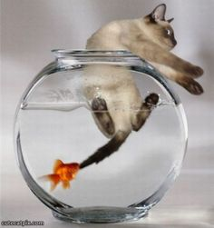 This would be my presley..I used to have a fish tank like this until he would do nothing but drink out of it and I would have dead fish on the floor in the morning