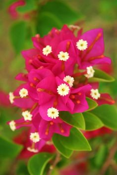 (bougainvillea, St. Lucia).  I've never seen this flower, but it is so pretty!