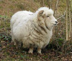 Google Image Result for http://foundationsladegreen.edublogs.org/files/2012/07/shetland_sheep-16g5jw8.jpg