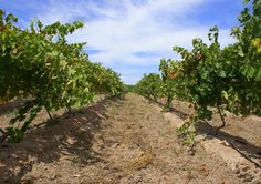 10 Sauvignon Blanc producers you need to know about. Producing a top 10 list like this one requires a lot of discipline, and a thick skin! Thick Skin, Sauvignon Blanc, South Africa, Vineyard, Places, Outdoor, Outdoors, Vine Yard, Vineyard Vines