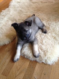 Fenrir, 8 weeks. Norwegian Elkhound.