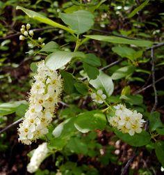 Herbs Don't Read Books: Cherry Leaf Tea » The Medicine Woman's Roots, Kiva Rose