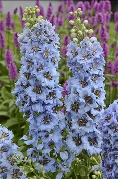 'Moonlight Blues' is a perfect light blue color and gives height in the garden. Photo courtesy of Perennial Resource.
