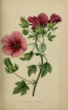 Malope a feuilles trifides - malope trifida, gravure