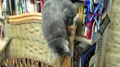Nyx the eyeless library cat exploring Ann's office