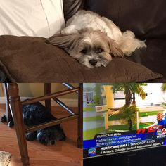 Tornado warnings galore Mugsy feeling no pain (he's drugged) Riley hunkered down under a chair and TV showing where a tornado already hit in Palm Bay... and this is just the beginning!!!  #funfunfun #hurricaineirma2017