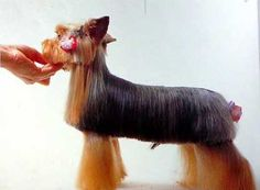 Yorkie haircuts for males and females + pictures) - Yorkie. Yorkie Cuts, Yorkie Hairstyles, Dog Haircuts, Silky Hair, Yorkshire Terrier, Hair Cuts, Female, Hair Styles, Yorkies