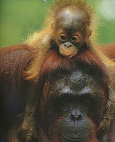 Orangutan baby riding on its mother's back.