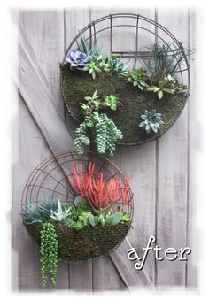 Succulent planter gardens from vintage rotary fan covers  -could do it easily for other garden plants with some coconut basket liner ~ would look great on the back gate, fence or wall