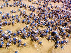 Soldier Crabs in Japan