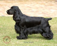 English cocker spaniel: beautiful little dogs.