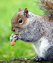 Eastern gray squirrel - Wikipedia, the free encyclopedia