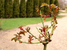 In many areas of California, March is the month when roses break dormancy, or begin sustained growth over spring, summer and into fall. Here are seven tasks for March.