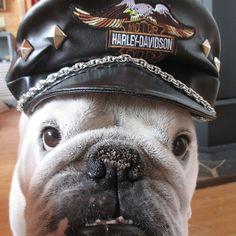 Does anyone  doubt that  I'm a WILDMAN  now?  #Englishbulldog #petclothes #etsysellers #handmade #dogsofinstagram #bulliesofinstagram #bulldognation #doghat #frenchbulldog #etsysellersofinstagram by meaty_wildman #lacyandpaws
