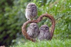 Image: Baby owls in Pebmarsh, Britain on June 29 (© Albanpix Ltd/Rex Features)