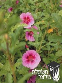 שנויית מחוספסת-אניסודונתאה  -Anisodontea scabrosa גובה- 1.8-1.5 מ', שיח בינוני, אוורירי, פריחה מרהיבה בורוד- באביב, בקיץ ובסתיו, הפרח דמוי לחוטמית אך קטן יותר, ירוק-עד, קיטום הצמח באביב, שמש או צל חלקי, צימוח מהיר, עמיד לקרה ולשרב, רגיש לגיר ולמליחות, צמח קצר ימים, אורך חייו כשנה-שנתיים,