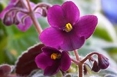 African Viole - Jigsaw Puzzles Online at JSPuzzles