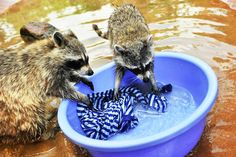 Raccoons washing clothes in a zoo on May 5, 2015. Keepers at this zoo who decided to put to the test a claim that raccoons like washing clothes found it to be 100 per cent true. As soon as the clothing and the bowl of water was placed in the cage, the raccoons grabbed it and started washing away to the delight of zoo visitors. (Photo by Europics)
