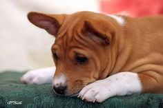 """""""Cute Basenji...if I got a dog..this would be it!"""" <— Previous pinner. Be careful. Basenjis are cute but are HIGH maintenance, intelligent but stubborn. They aren't called pointy-nosed kitchen sharks and curly-tailed devil dogs for nothing. Research the breed before buying (from a reputable breeder of course). Basenjis require commitment."""