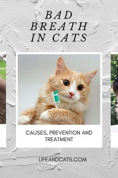 Bad breath in cats is often an early indicator of a dental problem or underlying heath issue. We discuss causes, other symptoms and preventative dental care Cat Bad Breath, Information About Cats, Kitten Care, Dental Problems, Cat Care Tips, Cat Behavior, Cat Facts, Cat Grooming, Dental Care