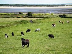 Vacas, Campo, País De Gales, Agricultura
