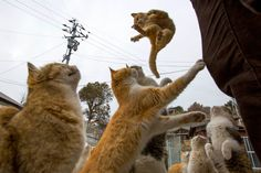 Cat Empire: Moggies outnumber humans on Aoshima Island in Japan, in pics - Telegraph