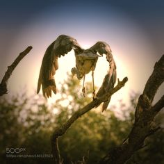 jumping heron by hansdewaay. @go4fotos