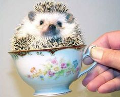 Hedgehog in a teacup