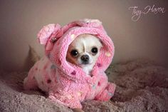 Awwwww what a cute Chi, i want to buy a cozy hoodie like that for my baby Addie ❤️❤️❤️