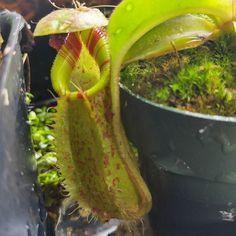 #Nepenthes robcantleyi x (spectabilis x aristolochioides) #californiacarnivores #carnivorousplant #pitcherplant #garden #plants by natchgreyes