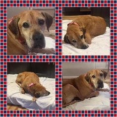 Adopted  ☺      12/2017 9/2017 Trey - *TRI-PAW* - Labrador Retriever/Pit Bull Mix - Male - 14 yrs old - LowCountry Animal Rescue - Mount Pleasant, S.C.