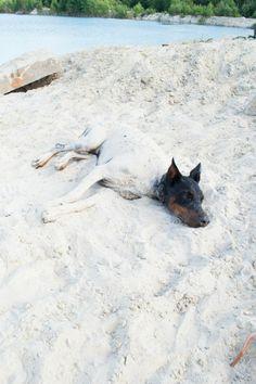 Alena Kučerová work in progress #Dobermanpinscher #Doberman #Beach