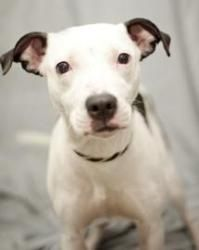 Starla is an adoptable Pit Bull Terrier Dog at Last Chance Ranch Animal Rescue in Quakertown, PA. 215.538.2510. Starla is an adorable mixed terrier, pit, bull dog cross only about 6+ mos. She is smart, crate trained and ready for a family who wants ...