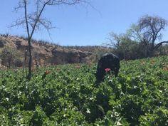 Destruyen policias federales 5 predios de amapola en Valle del Rosario | El Puntero