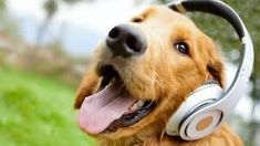 Golden Retriever groovin to the music of Three Dog Night Cute Puppies, Dogs And Puppies, Cute Dogs, Nombres Golden Retriever, Funny Dog Videos, Funny Dogs, Sweet Dogs, Dog Anxiety, Dog Pictures