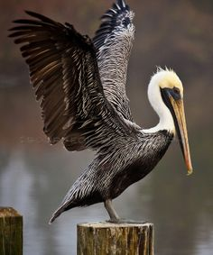 Louisiana state bird | The Louisiana state bird; the brown pelican with wings fully ...