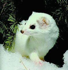 the weasel in winter