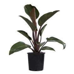 PHILODENDRON CONGO ROJO: Partial shade and it will tolerate full shade. The soil should always be a little bit moist. When you water, water thoroughly, not stopping until water flows out of the drainage holes. Philodendrons like water, but they don't like to sit in it. Toxic to Dogs & Cats.