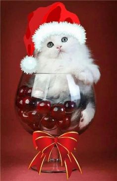 le chat blanc - Expolore the best and the special ideas about Wine time Christmas Kitten, Christmas Animals, Merry Christmas, Christmas 2017, White Christmas, Cute Kittens, Cats And Kittens, I Love Cats, Crazy Cats