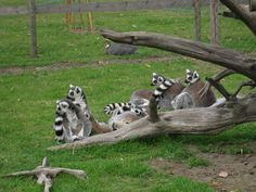 Great Wild Animal Photos | TR2558 : Lemurs at Wingham Wildlife Park