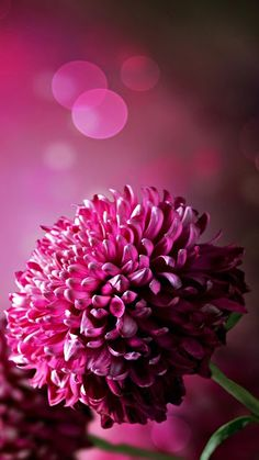 Dark Pink Chrysanthemum Wallpaper iPhone is the best high definition iPhone wallpaper in You can make this wallpaper for your iPhone X backgrounds, Mobile Screensaver, or iPad Lock Screen