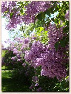 When I was little one whole length of backyard fence was covered in white and lavender Lilac Bushes.When I close my eyes I can still smell them.
