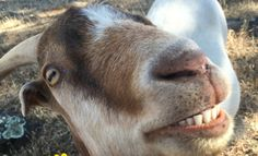 Meet the World�s Happiest Rescued Goat (PHOTO and VIDEO)