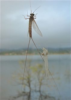 mayfly sheds his skin