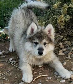 Next family pet is going to be a wolf breed #beautifulpuppies