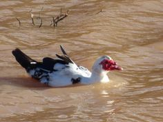 Desde las Islas Canarias  ..Fotografias  : Fauna Urbana ....Patos en el Barranco de Tetir ......